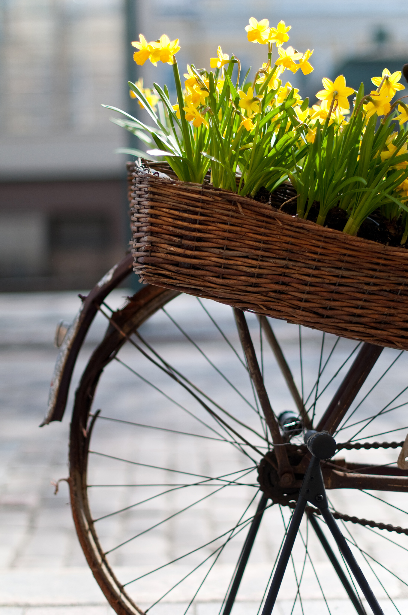 Narsissit pyöränkorissa