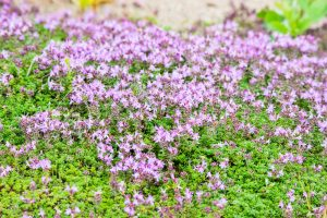 Kuvassa violetteja kangasajuruoholaikkuja